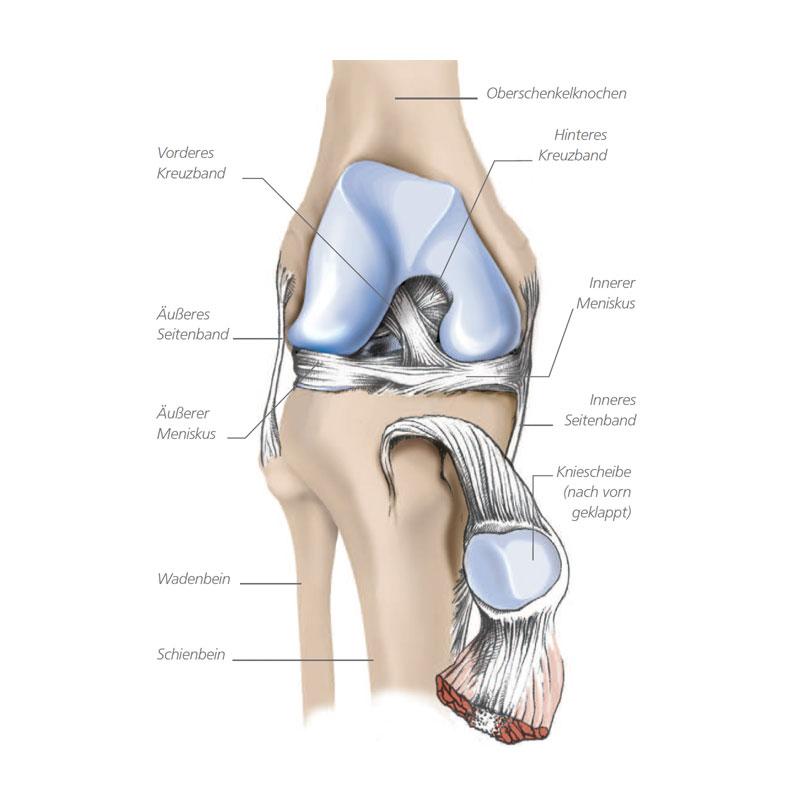 Aufbau des Kniegelenks